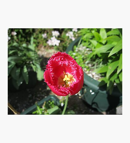 A Solitary Tulip Fotodruck
