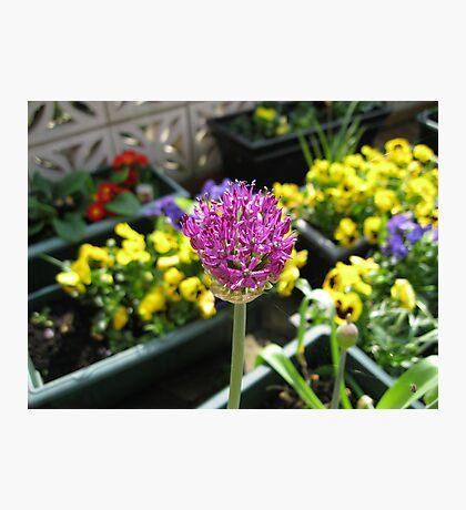 Beauty Unfolding - Allium and Pansies  Fotodruck