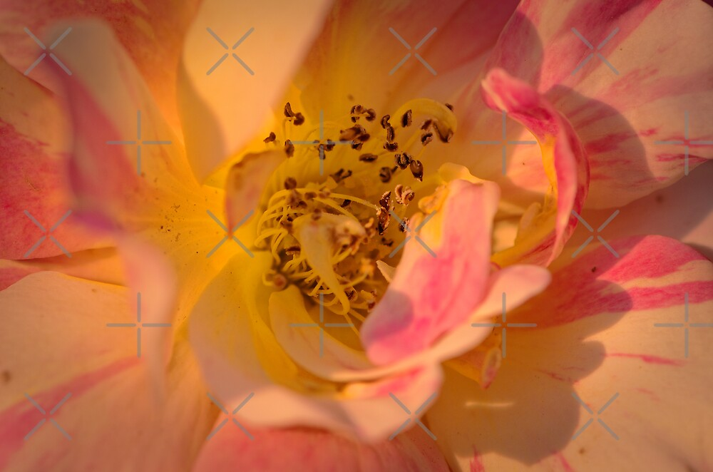 What's In the heart of a rose..... by M-A-K