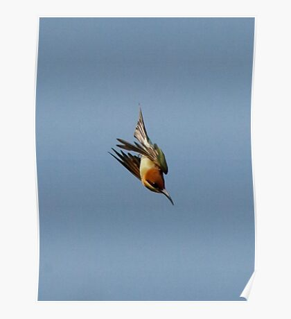Chestnut-headed Bee-eater on the wing Poster