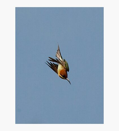Chestnut-headed Bee-eater on the wing Photographic Print