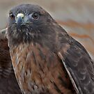 Red Tail Hawk by Judson Joyce