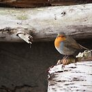 Robin by Ray Clarke