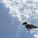 Bird on a Snowbank by North22Gallery