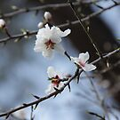 Almond Blossom by teresalynwillis