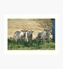 The charolais Heifers Art Print