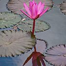 Lotus and its reflection in a pond at Pura Taman Ayun near Mengwi in Bali, Indonesia by Michael Brewer