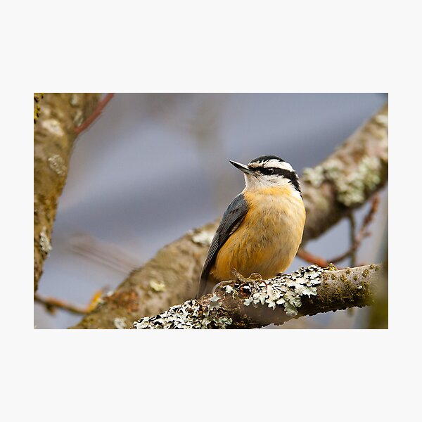 Red-breasted Nuthatch Photographic Print