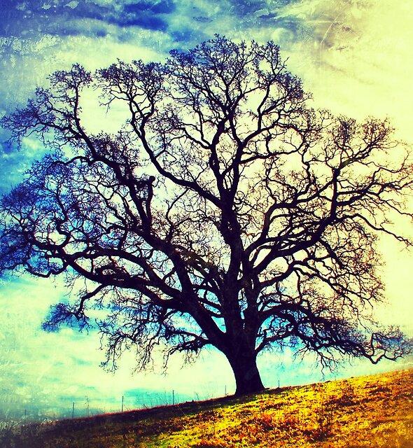 Oak tree in San Ramon, California by Dan Fitzpatrick