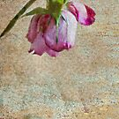 Valentine Rose  by DIANE  FIFIELD