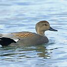 Gadwall by Wayne Wood