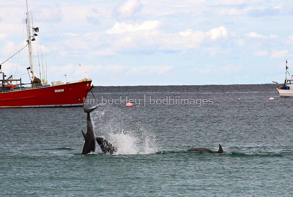 at play, bottlenose dolphins. bicheno, tasmania by tim buckley | bodhiimages