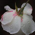 Wheeping white rose by loiteke