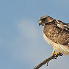 Resting In The Wind - RedTail Hawk by Lynda   McDonald