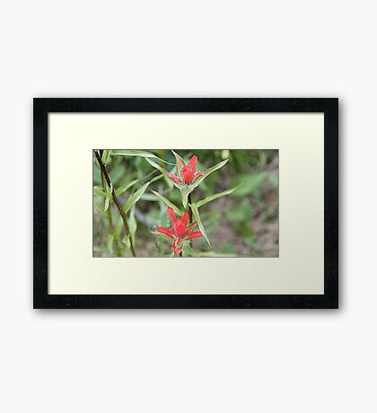 Indian Paintbrush ((Castilleja sp.) Framed Print