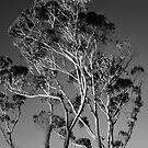 Eucalyptus Moon by meredithnz
