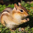 Afternoon Snack / Eastern Chipmunk  by naturalnomad