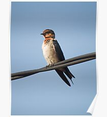 Wire Tailed Swallow Poster