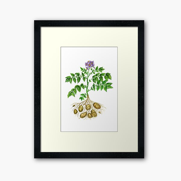Potato (Solanum tuberosum) Framed Art Print