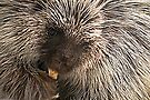 North American (Common) Porcupine by Kimberly Chadwick