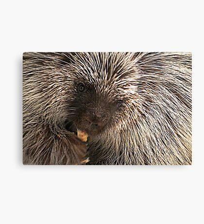 North American (Common) Porcupine Canvas Print