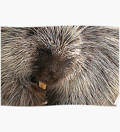 North American (Common) Porcupine Poster