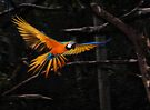 Macaw by Peter Hammer