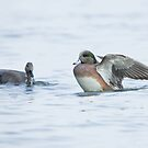 American Wigeon  by Wayne Wood