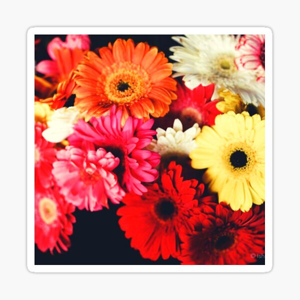 A glorious bunch of colorful Chrysanthemums. Sticker