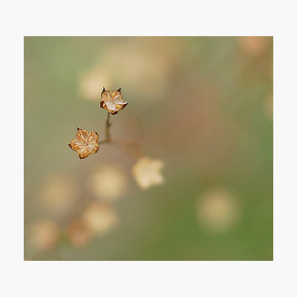 Seed pods of native grass Photographic Print