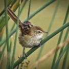 A Little Grassbird by Barb Leopold