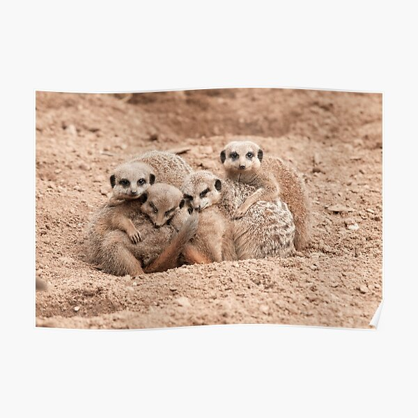 Meerkats in a huddle  Poster