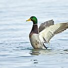 Mallard Wing Stretch by Wayne Wood