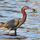 Little Blue Heron & His Breakfast by Kathy Baccari