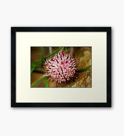 pink seeds Framed Print