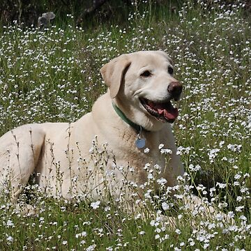 Blonde Labrador in wildflowers. by LisaRent