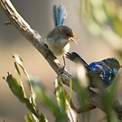 Try Dad! Blue Wren Chick and Dad by adbetron