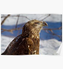 Pondering Immature Bald Eagle Poster