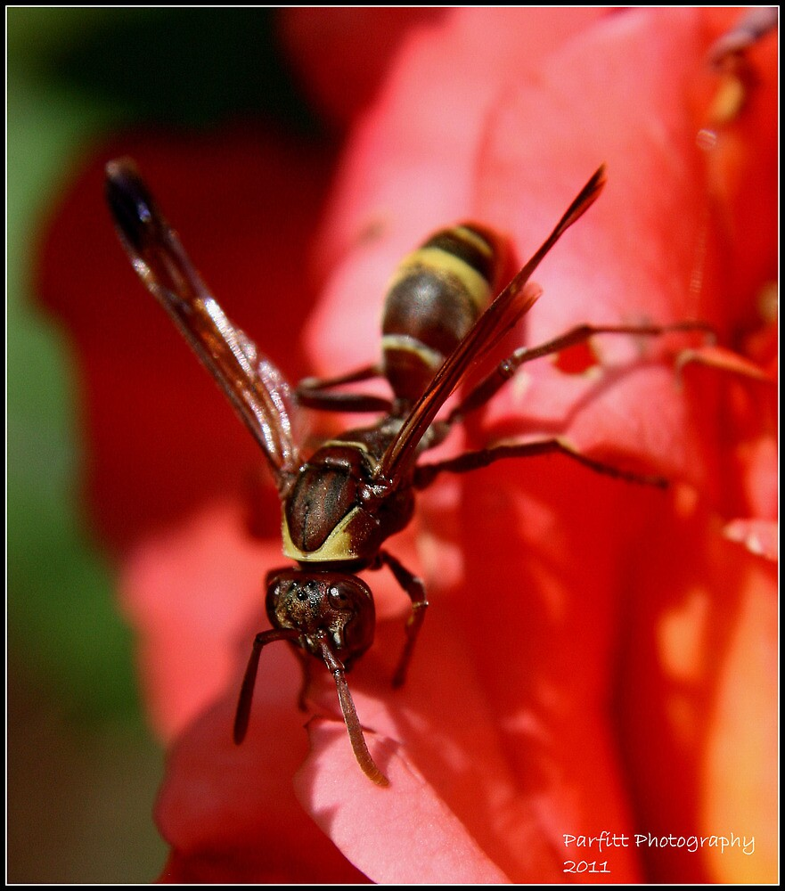 African Wasp! by Greg Parfitt