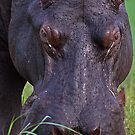 Staring Hippo by LG2001