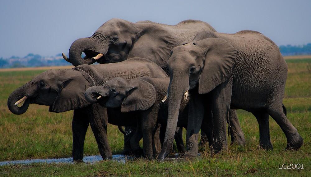 Thirsty Family.- Loxodonta africana( African Bush Elephant) by LG2001