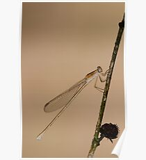 Brown Spreadwing Poster