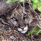 COUGAR by Jim Stiles