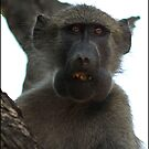 Baboon ! by Greg Parfitt