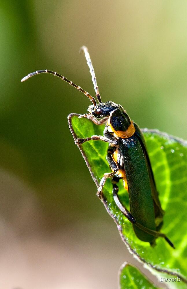 Soldier Beetle. by trevorb