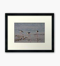 Black Winged Stilts. Framed Print
