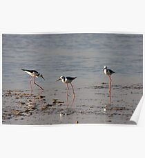 Black Winged Stilts. Poster