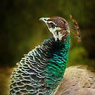 Peahen by zzsuzsa