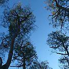 Sky Trees by katekreations