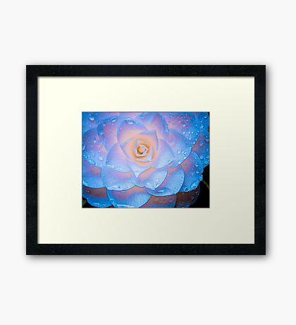 Camellia Illuminata Framed Print